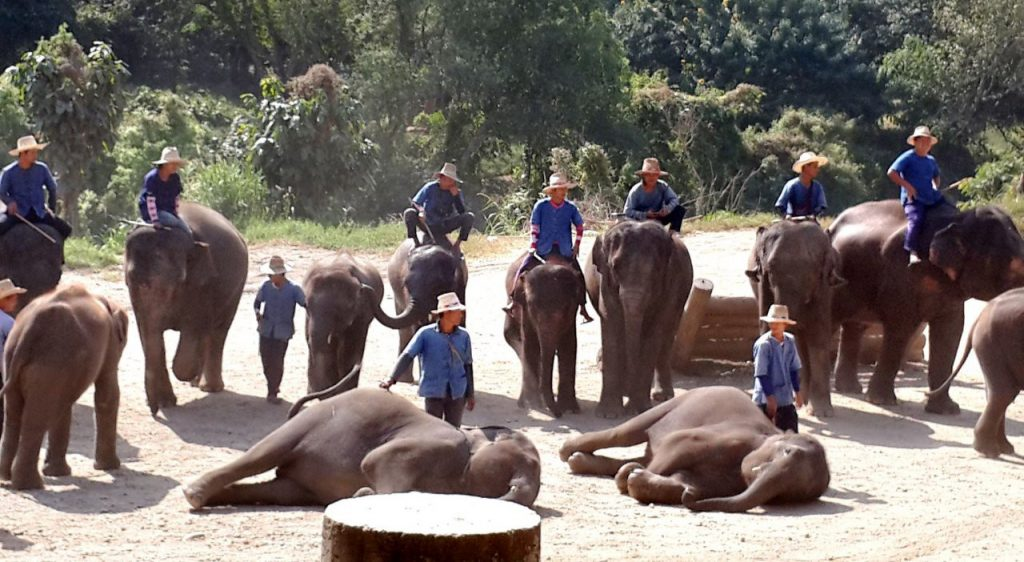 The world's first mahout training school opens in Chiang Mai | News by The Thaiger