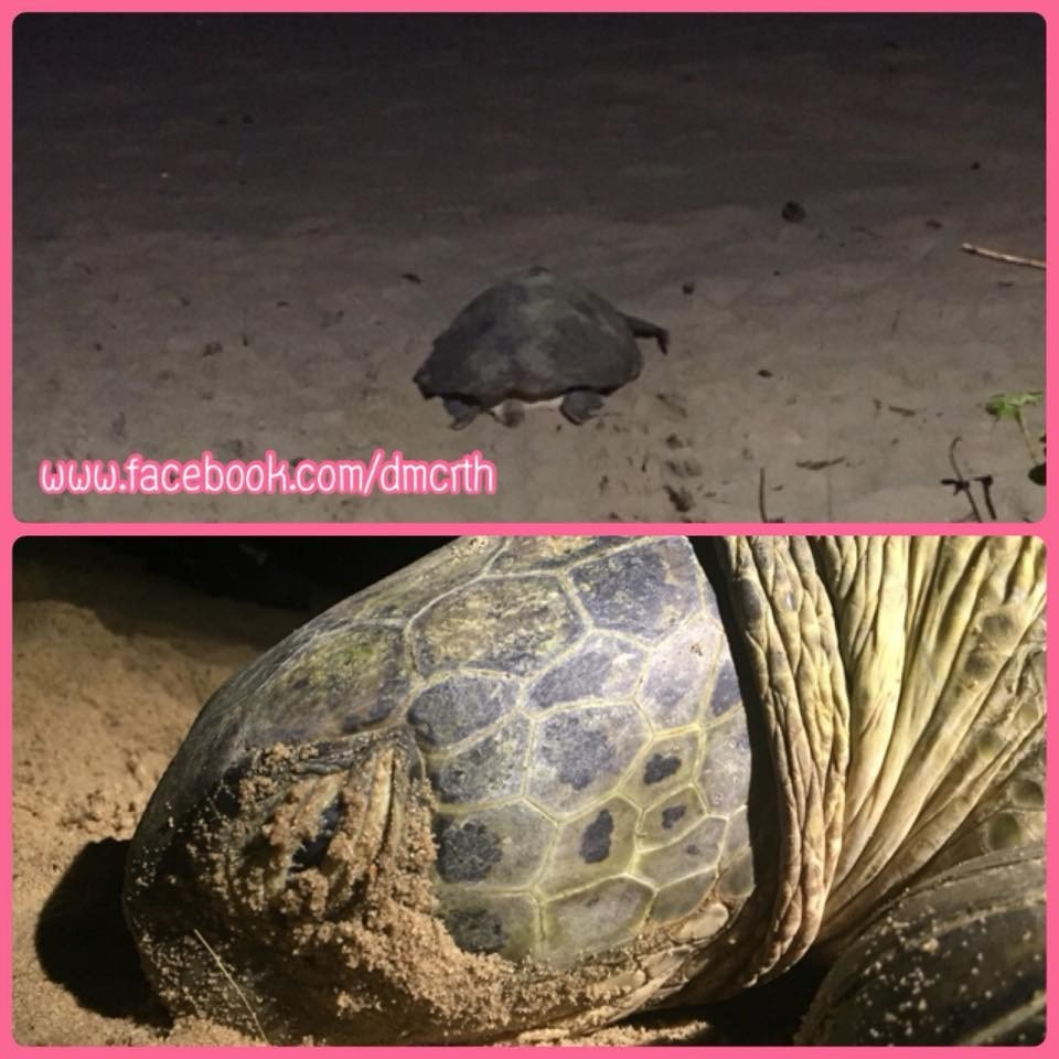 Sea turtle has laid eggs on Nai Thon Beach after ten years | The Thaiger