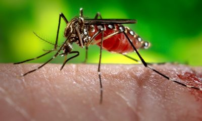 Could 'Wolbachia' mosquitoes be the best fight against Dengue | Thaiger