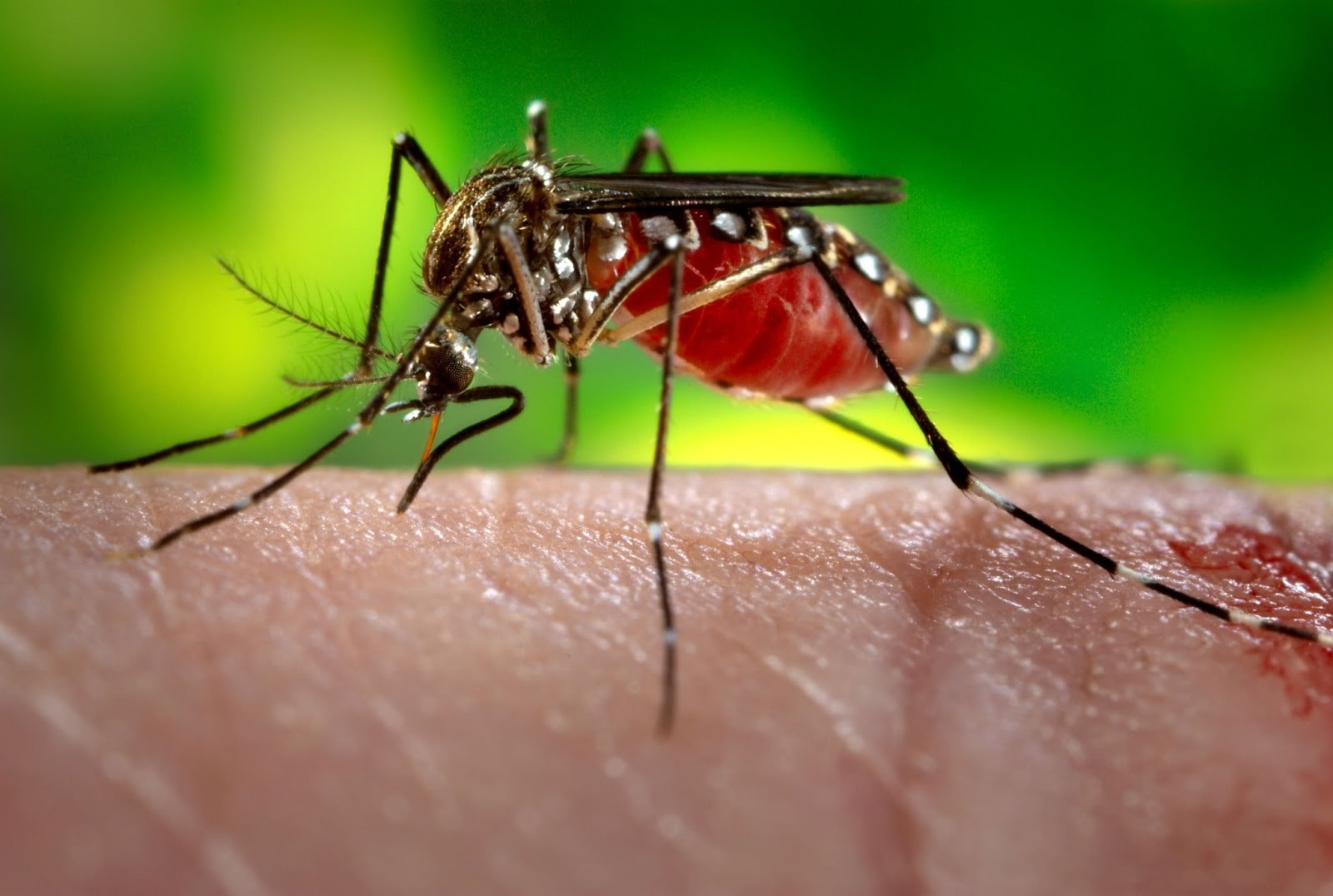 Could 'Wolbachia' mosquitoes be the best fight against Dengue | The Thaiger