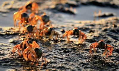 Millions of soldier crabs found on Krabi beach | The Thaiger