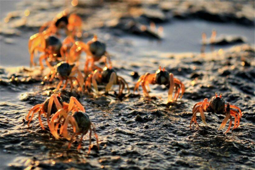Millions of soldier crabs found on Krabi beach | The Thaiger