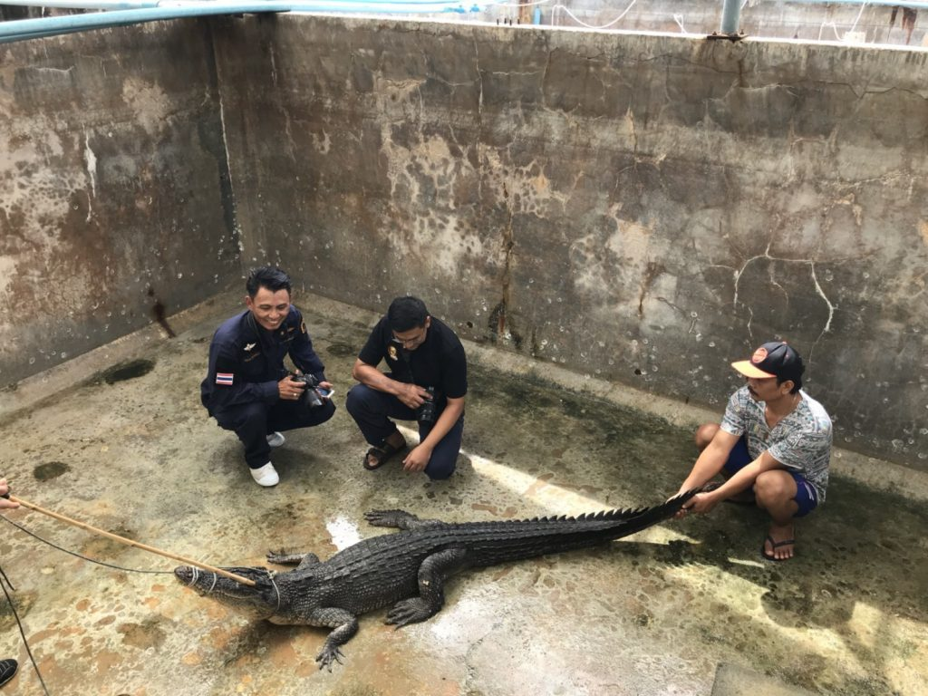 'Yanui' believed to be a mixed-breed crocodile | News by The Thaiger