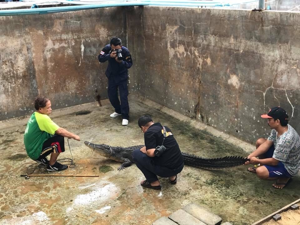 'Yanui' believed to be a mixed-breed crocodile | News by Thaiger