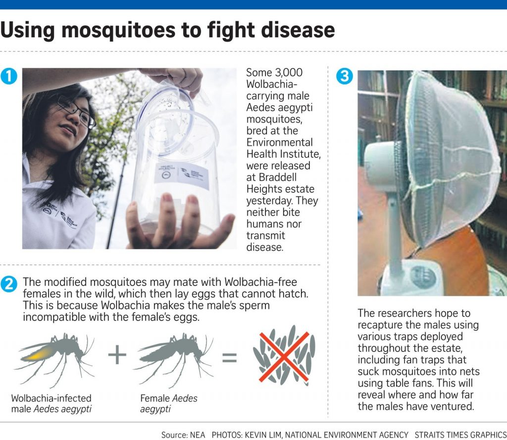 Could 'Wolbachia' mosquitoes be the best fight against Dengue | News by The Thaiger