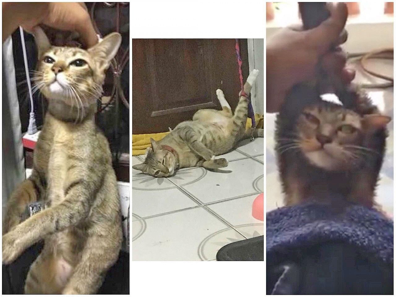 Bangkok cat owner faces cruelty charges   The Thaiger