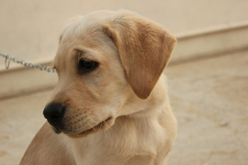 Deadly link: Puppy factories and rabies | News by Thaiger