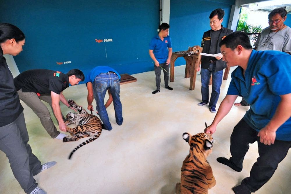 Thai tiger farms investigated for links to black market   The Thaiger
