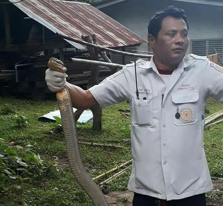 3 metre king cobra caught in Thalang | The Thaiger