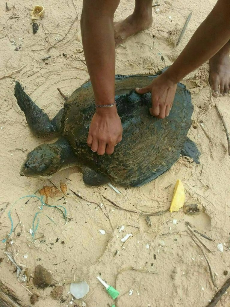 Four live, one dead sea turtle, washed up on Phuket Beach | News by Thaiger
