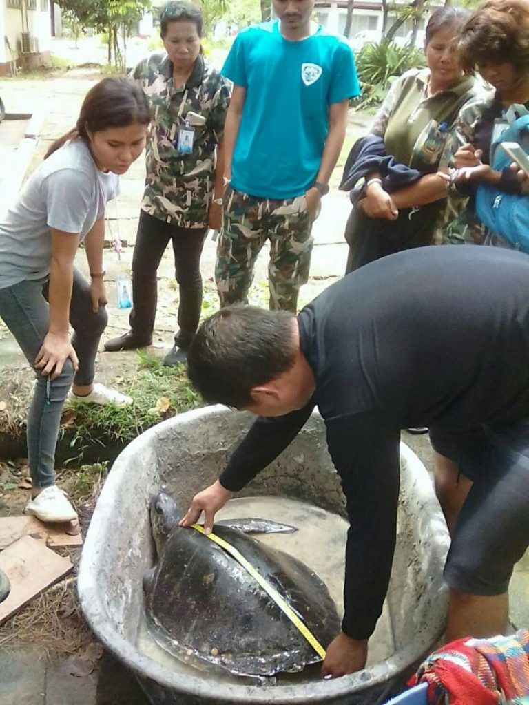 Four live, one dead sea turtle, washed up on Phuket Beach | News by The Thaiger