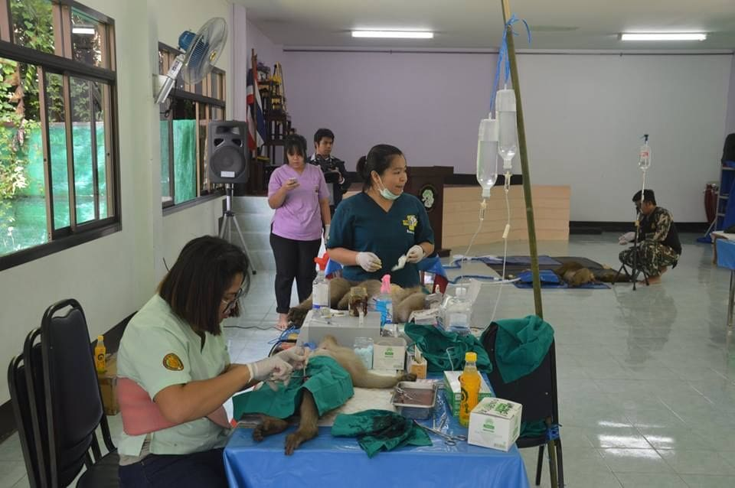 Phuket monkey sterilisation Stage Two underway | News by The Thaiger