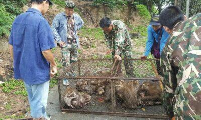 129 Phuket monkeys caught for sterilisation   The Thaiger