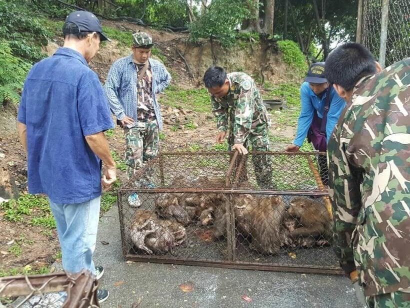 129 Phuket monkeys caught for sterilisation | The Thaiger
