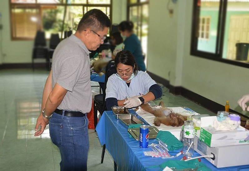 Phuket monkey sterilisation Stage Two underway | The Thaiger
