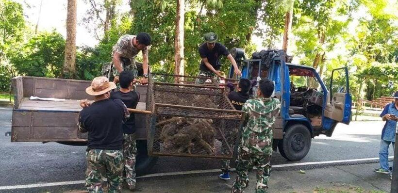 129 Phuket monkeys caught for sterilisation | News by The Thaiger
