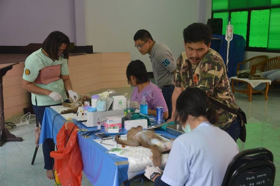 Phuket monkey sterilisation Stage Two underway | News by The Thaiger