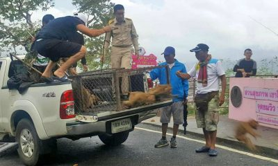 70 monkeys back home at Khao To Sae after sterilisation | The Thaiger