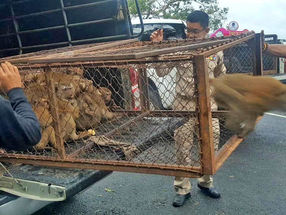 70 monkeys back home at Khao To Sae after sterilisation | News by The Thaiger