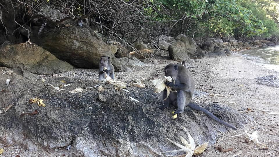 Koh Payu monkeys have a fruit feast | News by The Thaiger