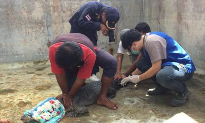 DNA tests reveal Phuket's Yanui is a…. | The Thaiger