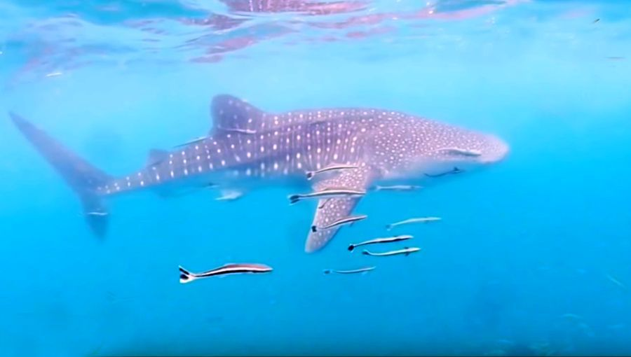 Four whale sharks hunting off Prachuap Khiri Khan | The Thaiger