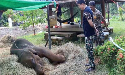 Baby elephant rescued from muddy pit in Chumpon | The Thaiger
