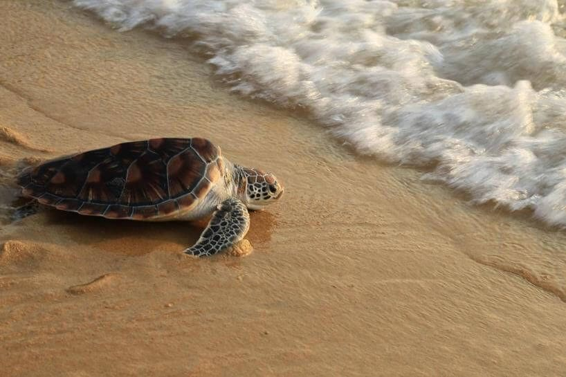 Over 20 sea turtles dying off Phuket and Phang-Nga in two months | The Thaiger