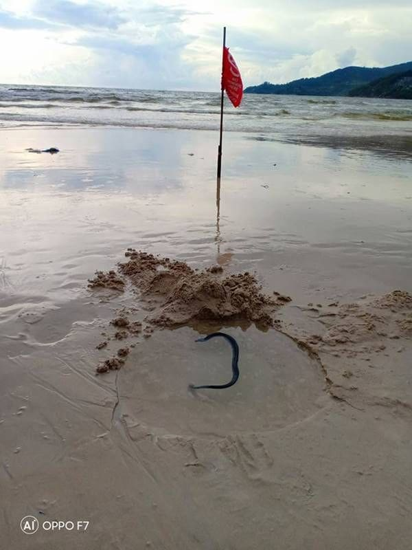 Injured sea snake found on Patong Beach | The Thaiger