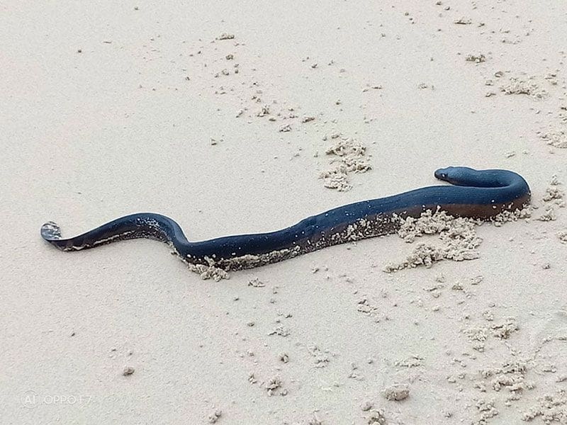 Injured sea snake found on Patong Beach | News by The Thaiger