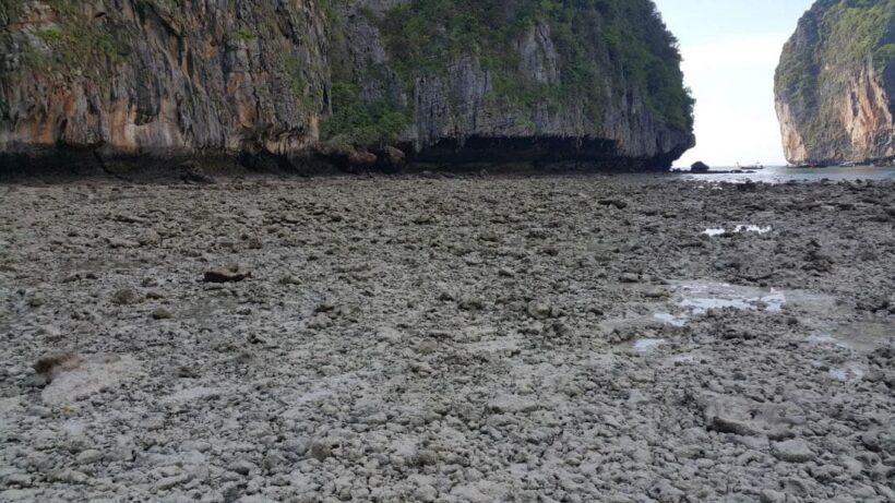 ปลูกปะการัง ช่วงปิดอ่าวมาหยา เริ่มเจริญเติบโต คาดต้องใช้เวลา 4-5 ปี | The Thaiger