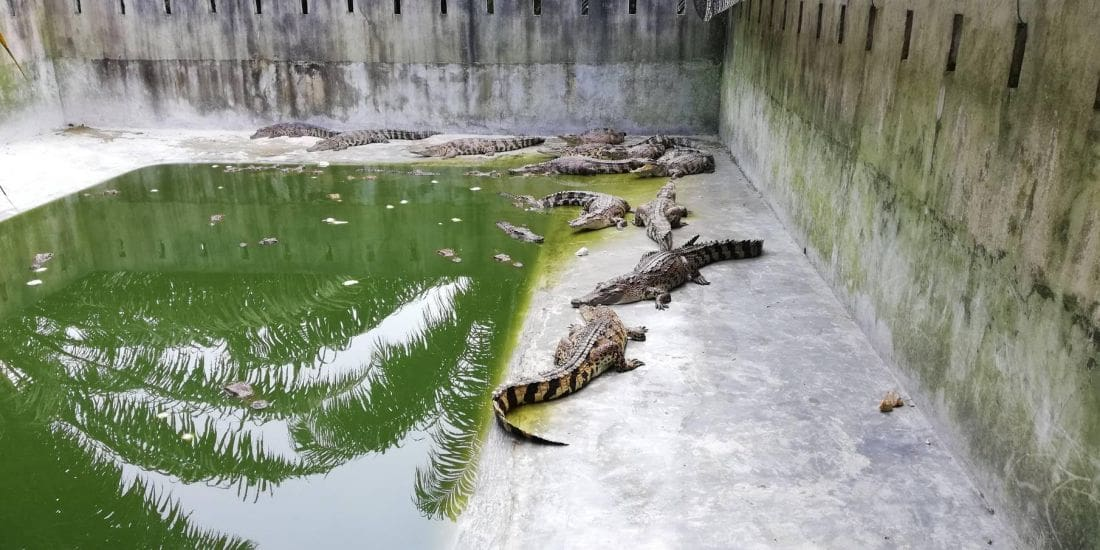 Crocodile farms in Krabi checked after wandering croc captured | The Thaiger