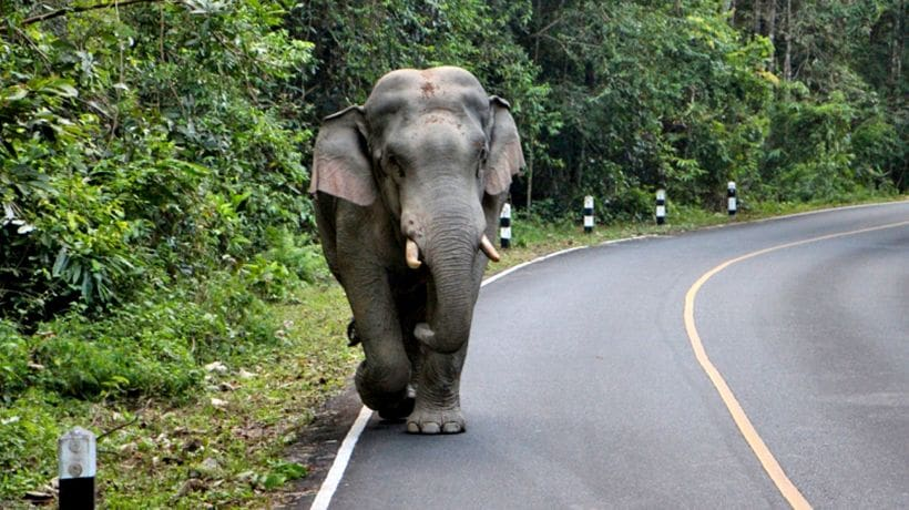 Two killed and nine injured in van and wild elephant collision | The Thaiger