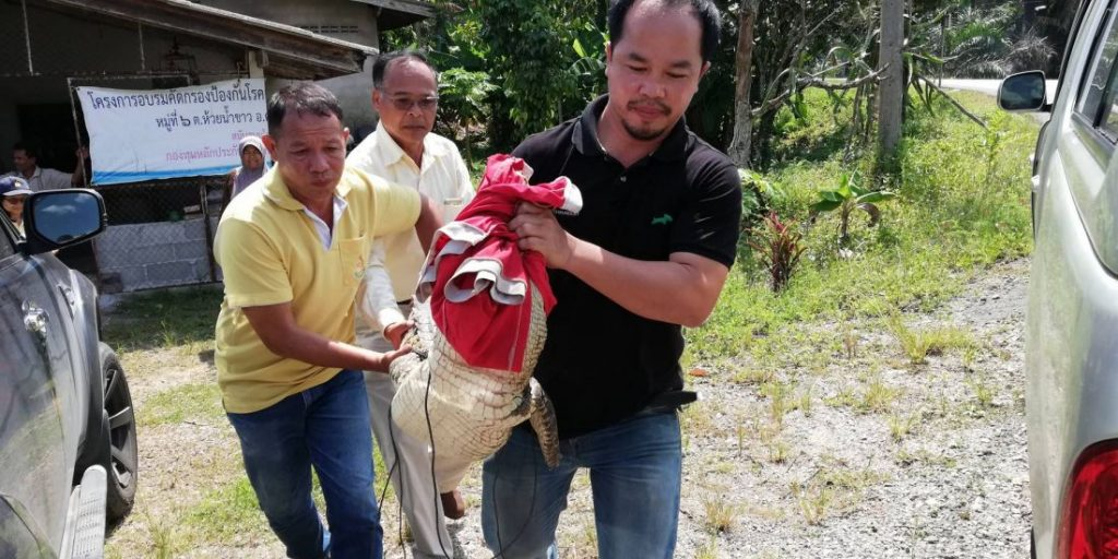 Two metre crocodile caught in Krabi | News by The Thaiger