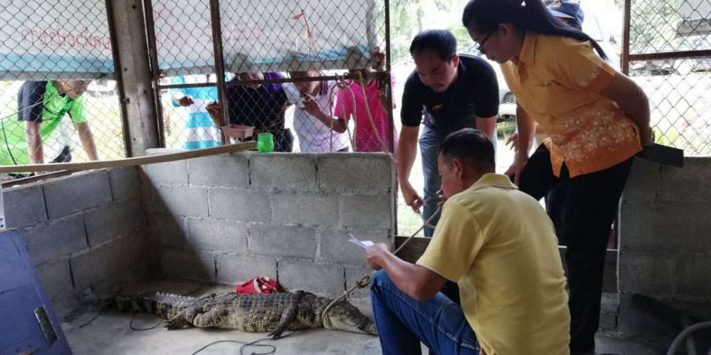 Two metre crocodile caught in Krabi | News by Thaiger