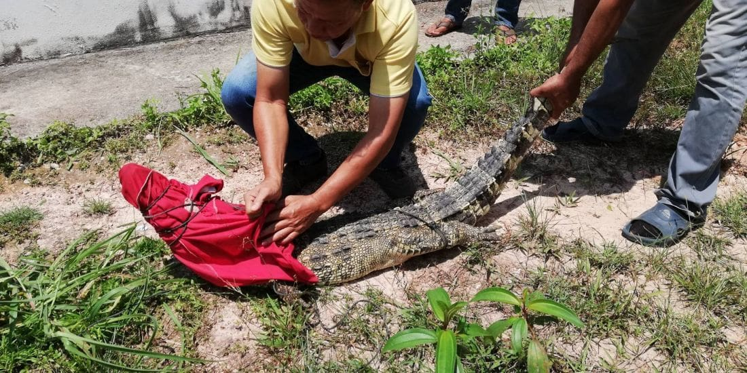Two metre crocodile caught in Krabi | Thaiger