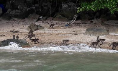 Koh Payu macaques have fruit and fish feast | The Thaiger