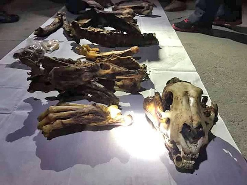 Two arrested for smuggling tiger body parts   News by The Thaiger