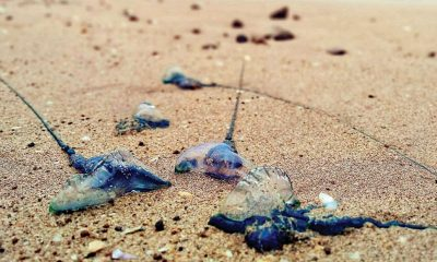 Swimmers stung by Bluebottles on Patong Beach | The Thaiger