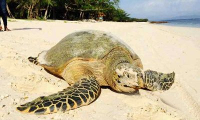 Leatherback turtles face extinction | The Thaiger