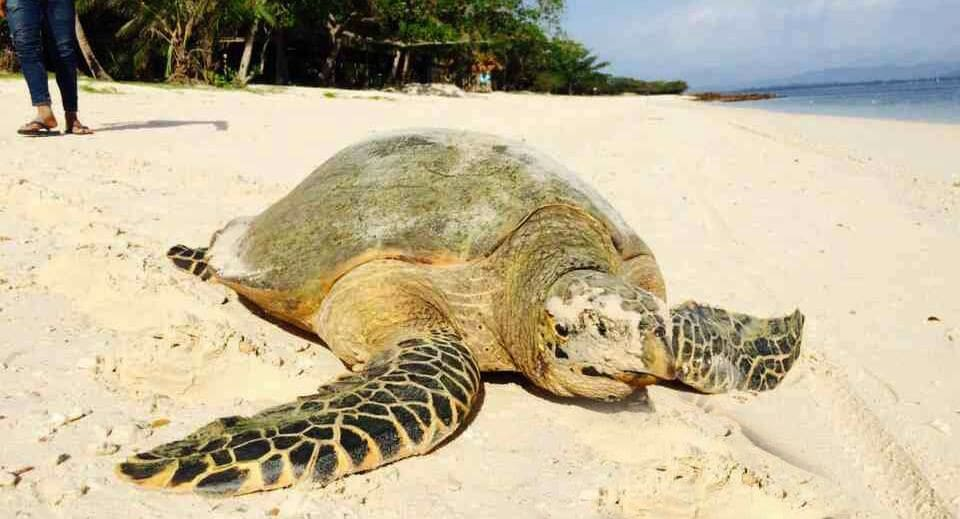 Leatherback turtles face extinction   The Thaiger