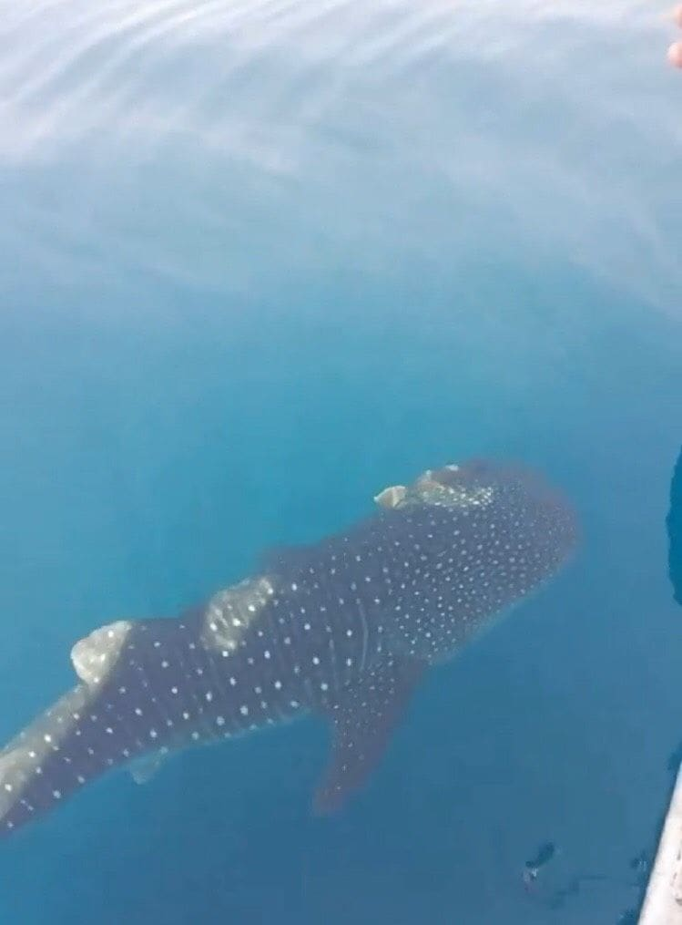 Whale shark sighted off Koh Racha | News by The Thaiger