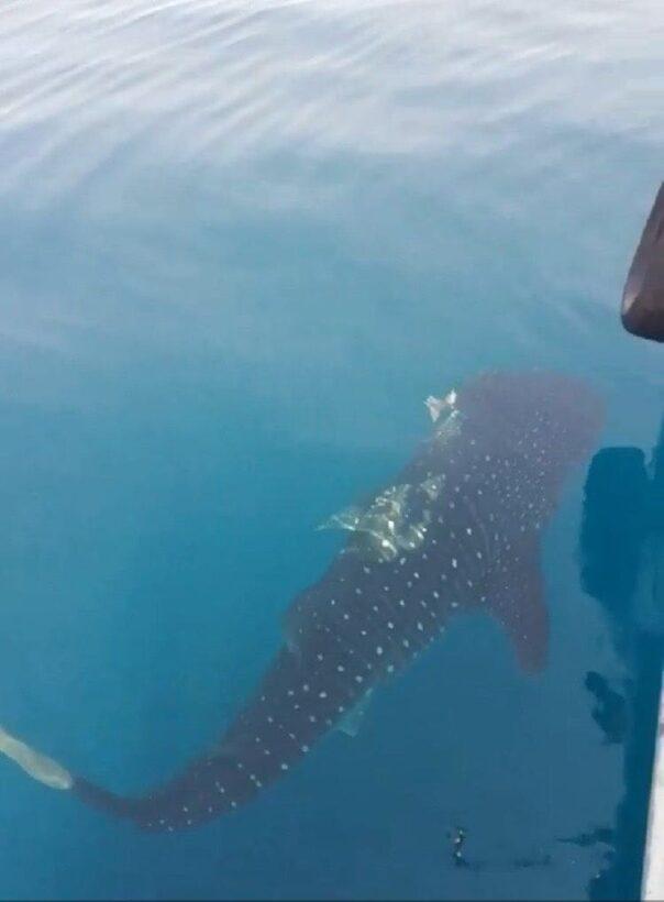 Whale shark sighted off Koh Racha | News by Thaiger