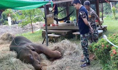 Baby elephant Chao Duan dies, 13 days after falling it pit | The Thaiger