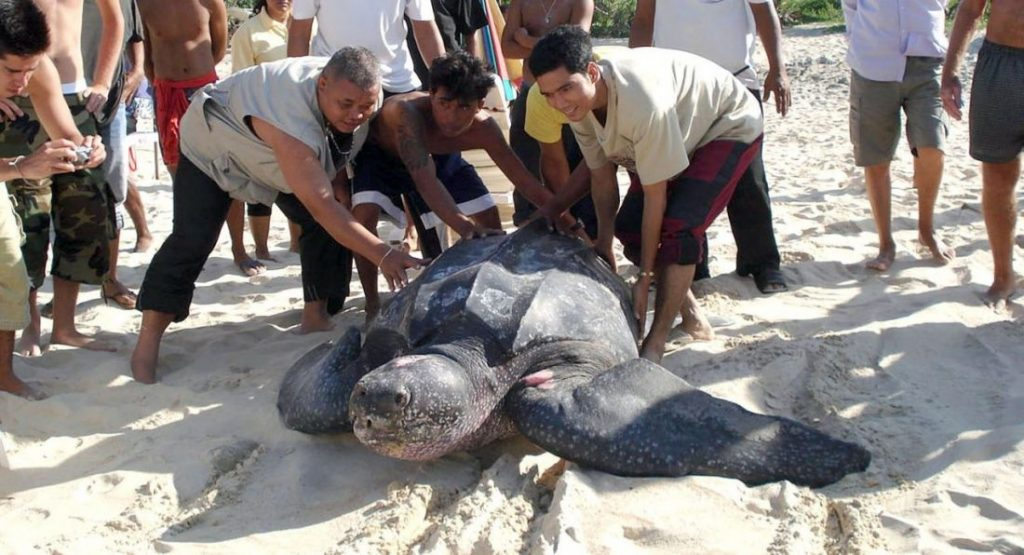 Leatherback turtles face extinction | News by The Thaiger