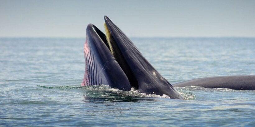 Whale watching season starts off Phetchaburi coast   The Thaiger