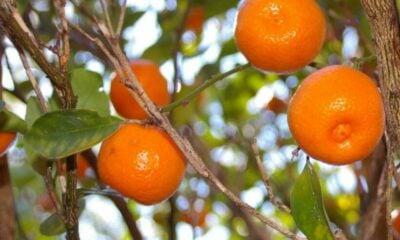 ALERT: Amoxicillin use in Thai orange orchards | The Thaiger