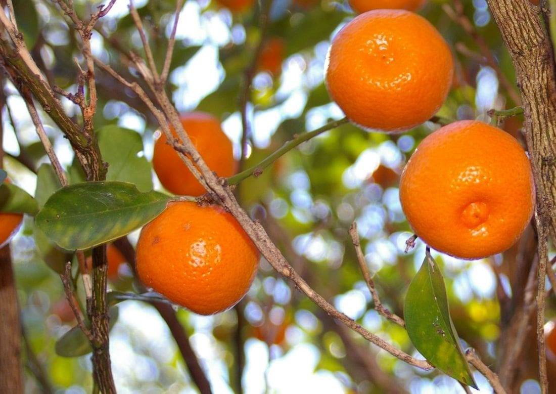ALERT: Amoxicillin use in Thai orange orchards | The Thaiger