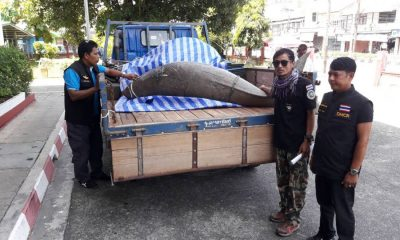 Dead dugong found in Trang sent to Phuket | The Thaiger
