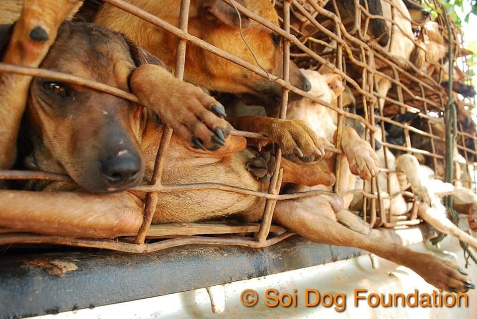 Hanoi 'must end eating of dogs before Formula 1' – Soi Dog Foundation | The Thaiger